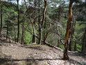 V prudkém srázu na pravém břehu řeky Chrudimky se udržely většinou jen borovice a ani těm není dán dlouhý život.