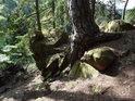 Poměrně mohutná borovice se svými kořeny dobře drží v nehostinném kamenném podloží.