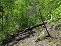 Padlá borovice na velice prudkém srázu na pravém břehu řeky Chrudimky.