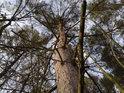 Pohled do koruny borovice, která nemá moc místa k životu.