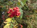 Podzimní jeřabiny potěší nejen oko pozorovatele.