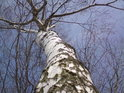 Pohled do koruny břízy, maskované okolním sněhem.
