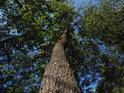 Menší lehce se vlnící dub.