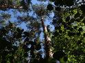 Pohled do korun borovic přes listy nižšího keřového patra lesa.