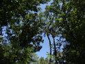 Pohled do korun jasanů ve Stupavě.
