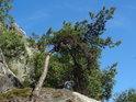 Borovice s nedostatkem výživy ve skalách.