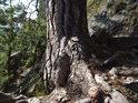 Pata borovice, který zvládla nedostatek živin bravurně.