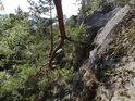 Dolů rostoucí větev borovice u skály.