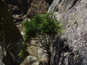 Smrk může ve skalních podmínkách dosáhnout bizarních rozměrů.