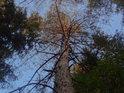 Vrchol menší borovice je zalit ranním Sluncem.