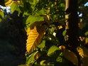 Bukové listy za podzimního úsvitu.