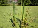 Na rákosovém trsu je poznat, že hladina klesá.