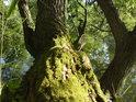Mechy nelítostně napadají slabší dřeviny.
