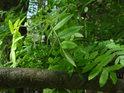 Listy jeřábu se prozrazují svým zoubkováním.