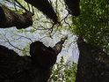 Do pětice jasanů zasahují bukové větve.