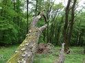 Vyvrácené stromy ční tak, jak spadly a mech z nich čerpá energii.