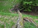 Pohled do hradního příkopu z vrcholu vyvráceného stromu.