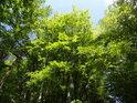 Překrásně sytá jarní zeleň buků na východní straně Třebovského hradiska.