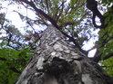 Borovice je dobývána okolními stromy.