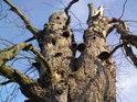 Uschlého stromu se sytí choroše a tu a tam si vezme kus dřeva zas povětří...