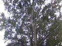 Topol bílý je tu velice hojným stromem a mnohdy dosahuje úctyhodných rozměrů.