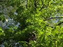 Kaštanové listí se má k životu, však jaro již sílí.