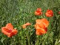 Vlčí máky některé ještě kvetou.
