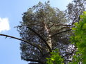 Mladší borovice na kraji dubiny.