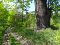 Starý dub u cesty.