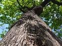 Dub tento je starý zhruba 400 let a stále je v plné síle.