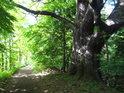 Rozvětvený statný dub na rybniční hrázi Petrovice nad Orlicí – Třebechovice pod Orebem.