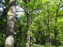 Dubové stromořadí po rybniční hrázi.
