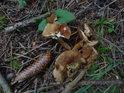 Podzimní lesní detail s šiškou a houbami.