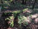 Vylomený kmen dubu obrůstá mechem.