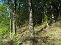 Dubobukový lesní svah.