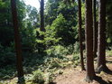 Smrky mají své místo ve smíšeném lese.
