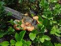 Choroše na ležící bukové větvi v borůvčí.