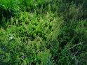 Trs borůvčí v trávě.