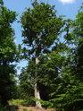Buk pokud má prostor, tak se dokáže rozšířit i v lese.
