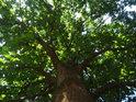 Pěkný dub se již vymanil z hlavního útisku křovin vůkol.