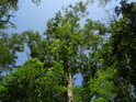 Vzrostlý akát mezi duby.