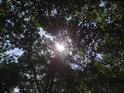 Letní sluneční paprsky se dostávají přes dubové listy.