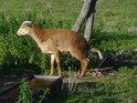 Ovečka s pověšeným ocasem u napajedla.