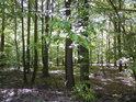 Porosty v chráněném území tvoří především buky.