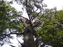 Pohled do koruny jednoho z mnoha místních dubů.