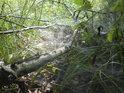 Pavučiny kryjí padlou topolovou větev.