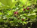 Maliny patří k výtečnému ovoci a zde rostou ve sbíratelném množství.