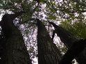 Lesní trojice.
