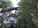 Prakovitá zpola padlá borovice se opírá o svoji vichrem neporaženou družku.