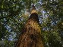 Habr je strom většinou štíhlý, málo pevný, spíše do vlhčích poloh, zde jich je dost.